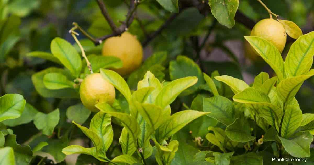 Yellow leaves on Meyer Lemon trees