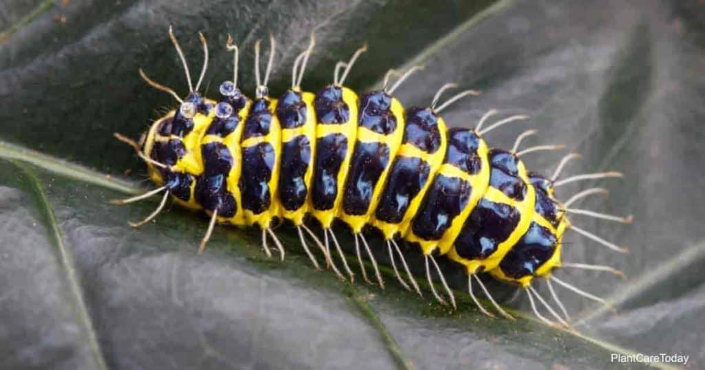 Caterpillars on leaves