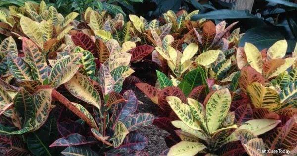 colorful croton plants