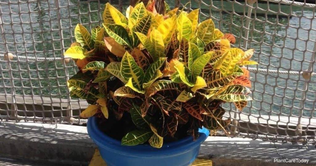 Croton care in winter