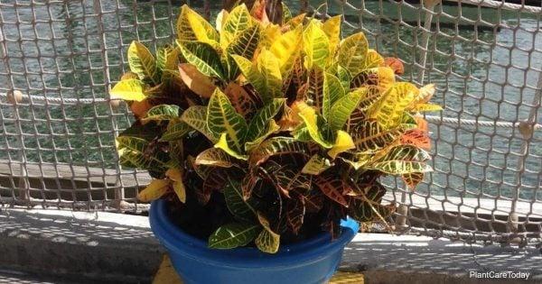 Croton plant care in winter