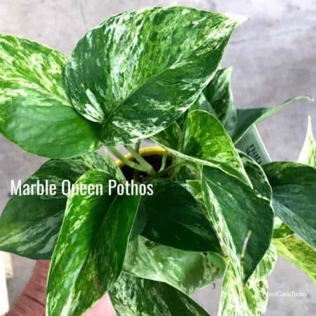 Leaves of Marble Queen Pothos