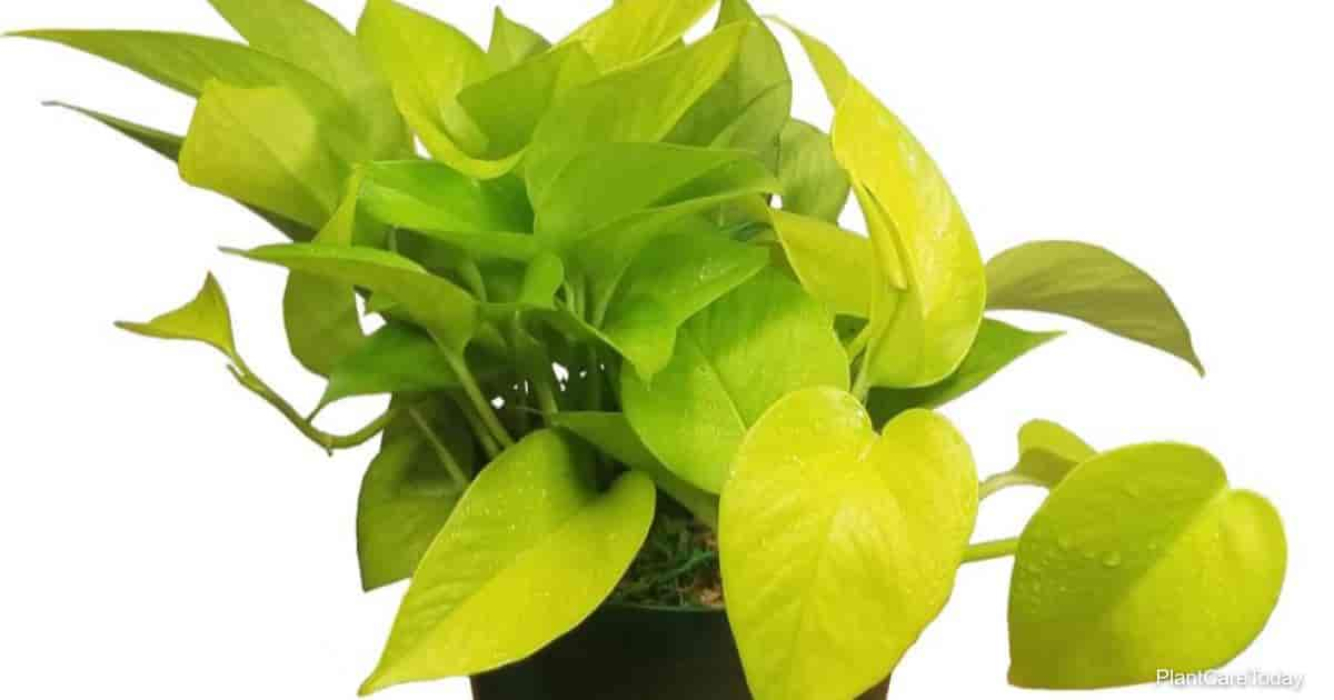 potted table top neon pothos