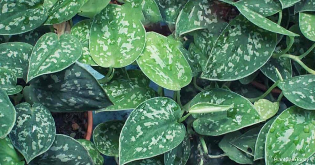Attractive spotted leaves of scindapsus pictus