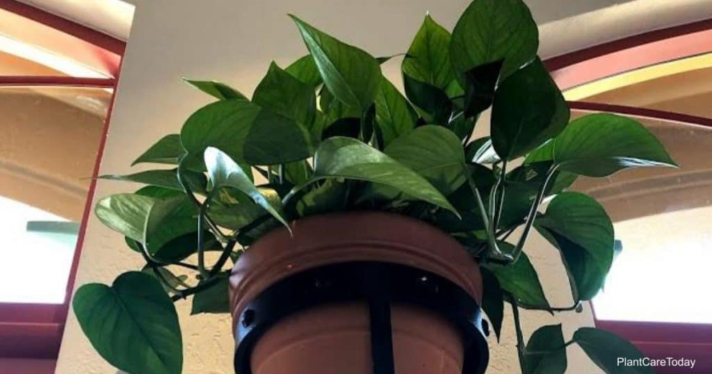 All green Jade Pothos in a hanging pot