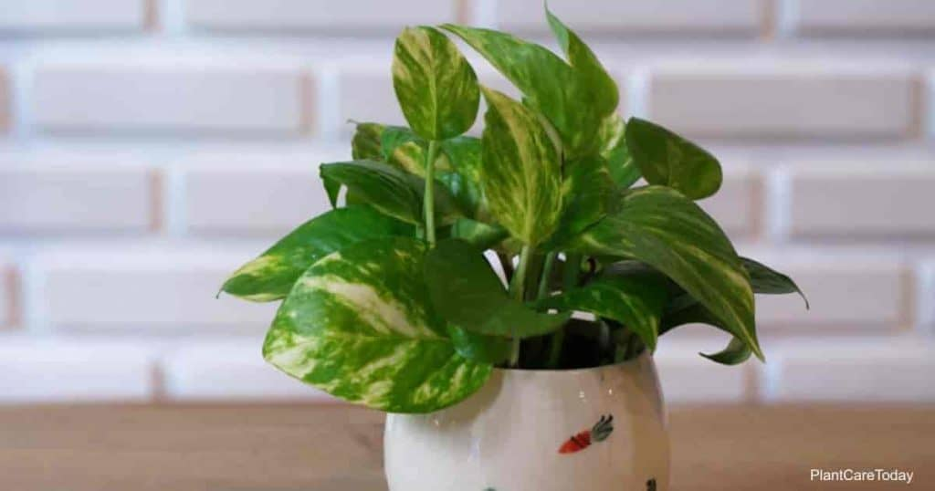 Golden Pothos plant growing in ceramic container