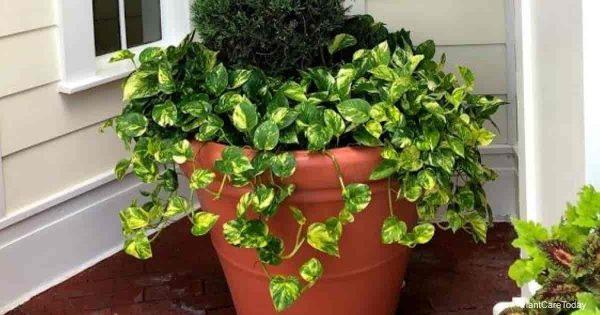 planter of golden Pothos, is Pothos cat safe?