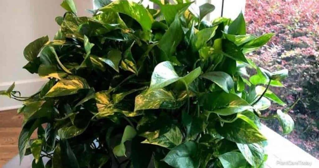 Learn ways to make your pothos plant bushy and full