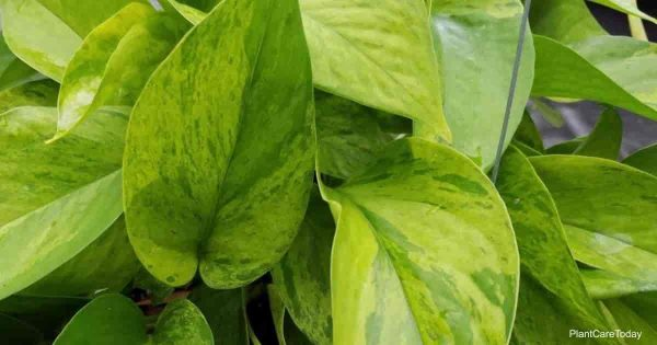 The leaves of Pothos Jessenia are speckled with splashes of bright lime green and yellow.