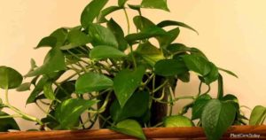 How Can You Make Pothos Grow Faster?