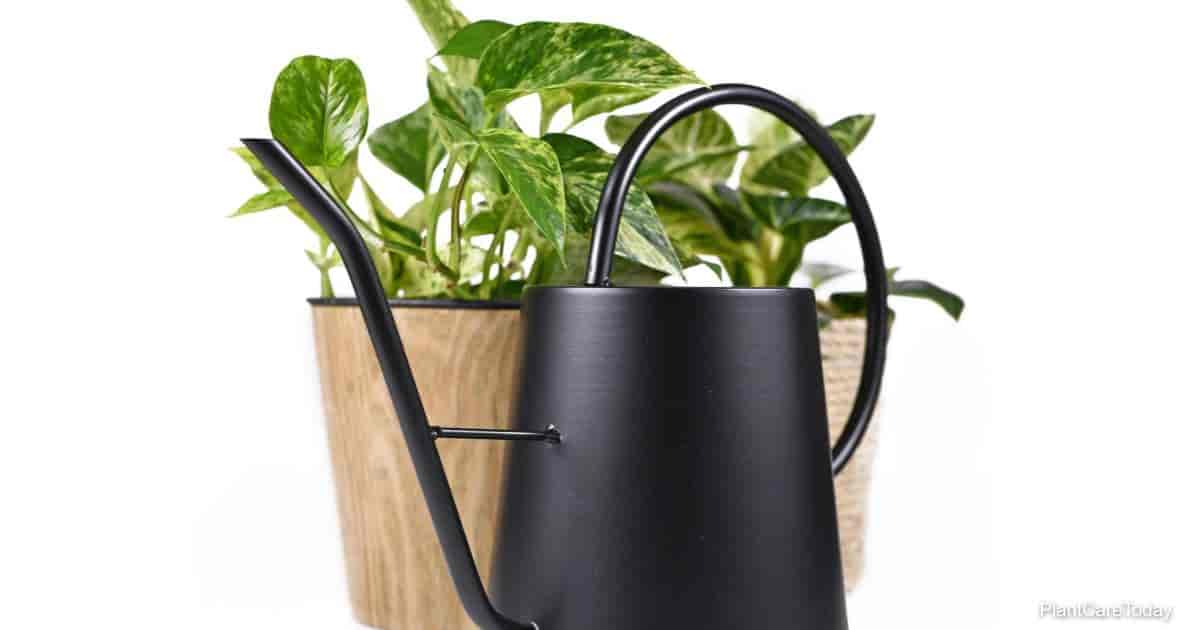 Black retro style watering can in front of pothos houseplant