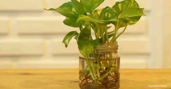 The Pothos with a Natural Light in the Morning Summer Day