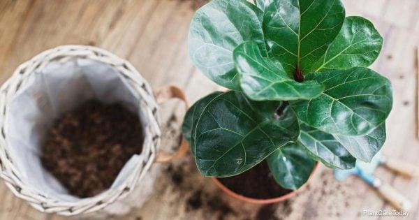 Soil for Fiddle Leaf Fig Plants