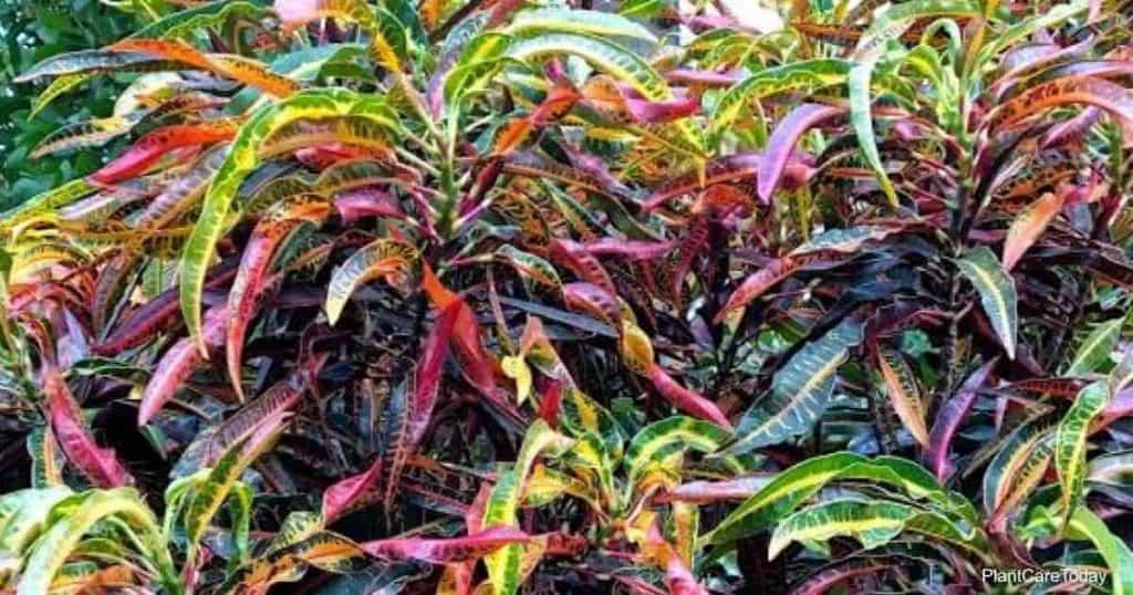 watering croton plants