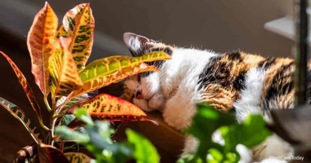 Calico cat sleeping in sunlight by window of house hiding behind croton red plant in room