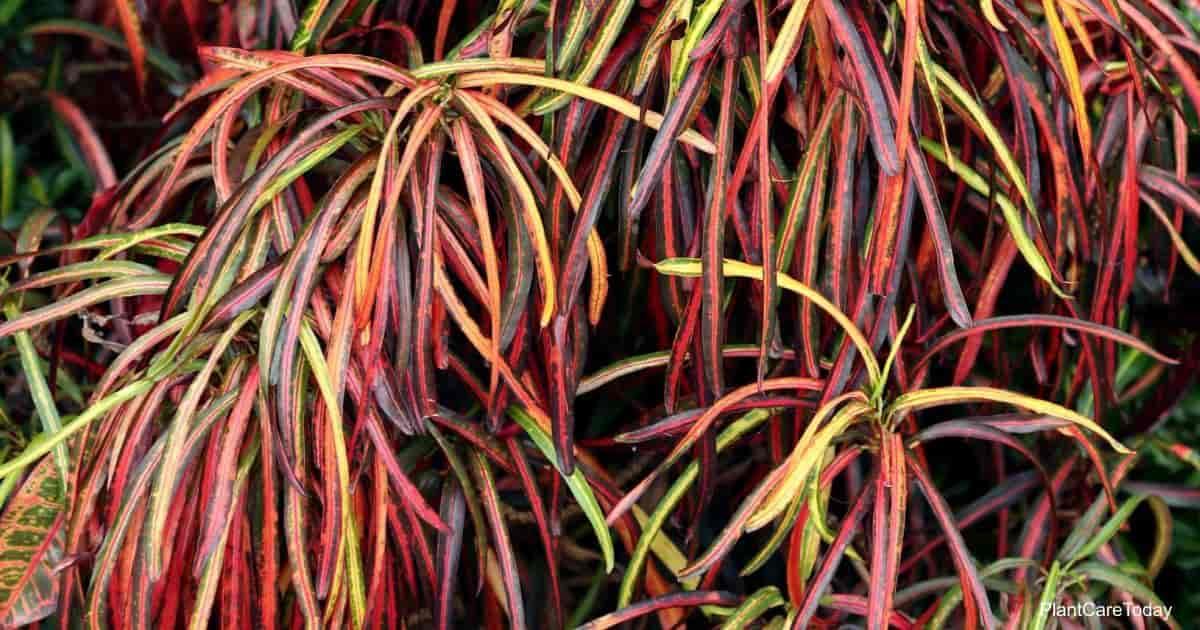Thin, colorful ribbon shoestring like leaves of Croton Zanzibar plant