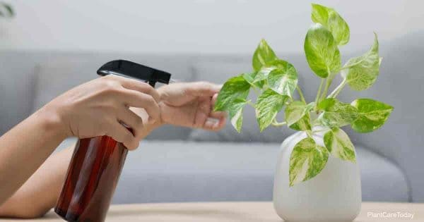 Golden Pothos plant being spraying for mealybugs