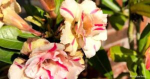How To Control Desert Rose Pests And Diseases