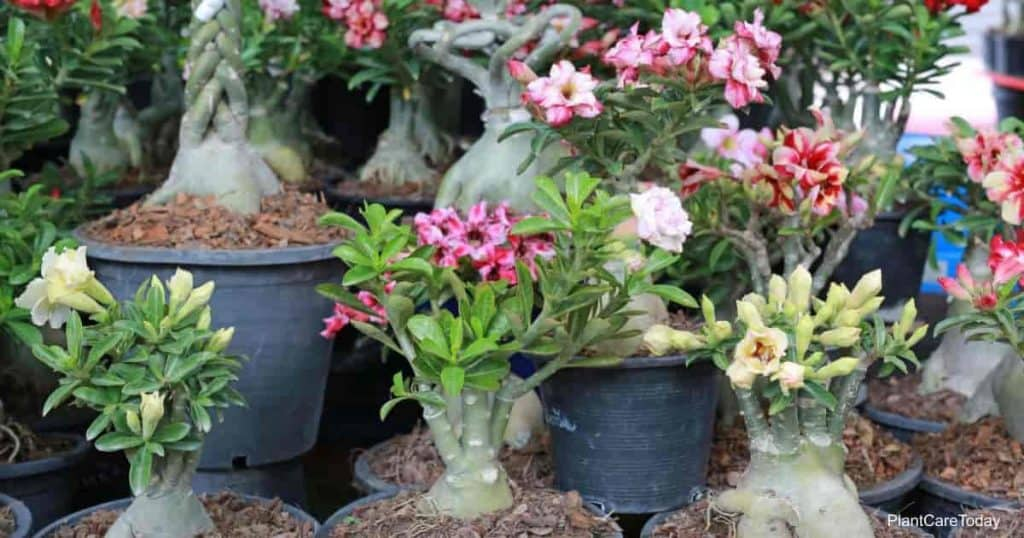 Collection of small Adenium plants in flower growing in pots