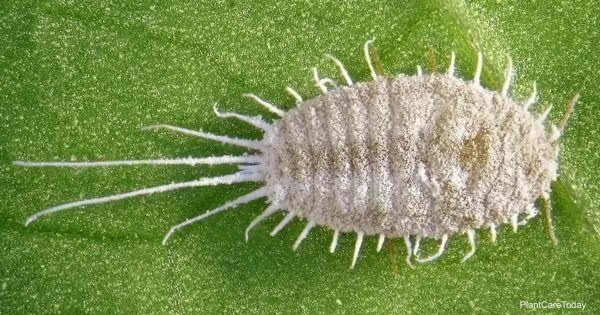 Long-tailed mealybug, Pseudococcus longispinus (Hemiptera: Pseudococcidae) is the dangerous pest of different plants