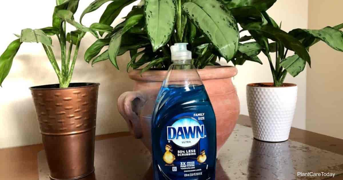 Use Dawn Dish soap to get rid of gnats