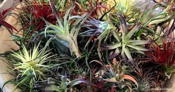 Learn to water air plants