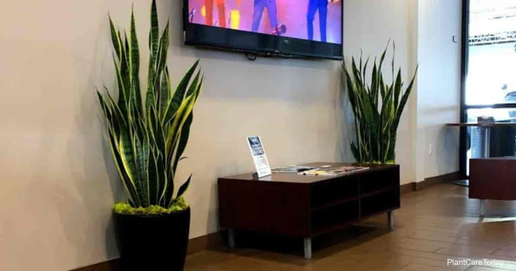 Sansevieria laurentii snake plant used in commercial interior decoration