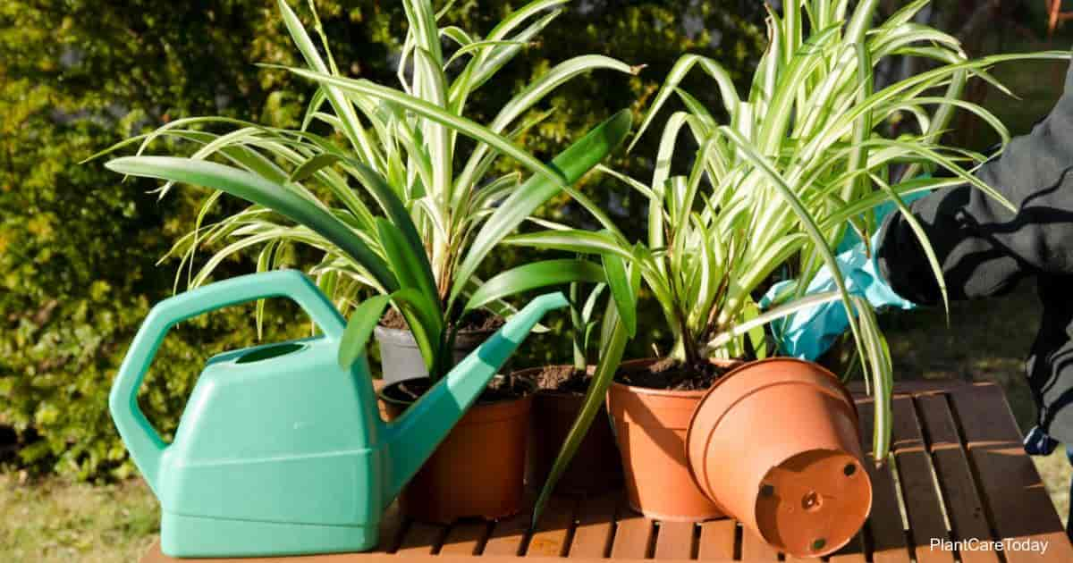 watering spider plants