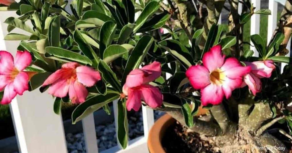 Controlling Aphids on Desert Roses