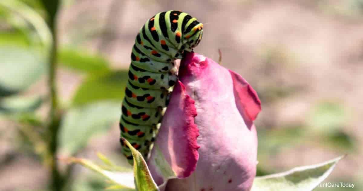 Green caterpillar feeding on pink rose flower bud