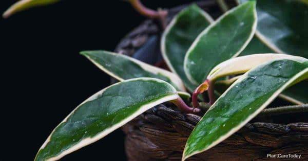 The fleshy variegated leaves of Hoya carnosa (hoya carnosa variegata) on a dark background. Beautiful tropical plant detail.