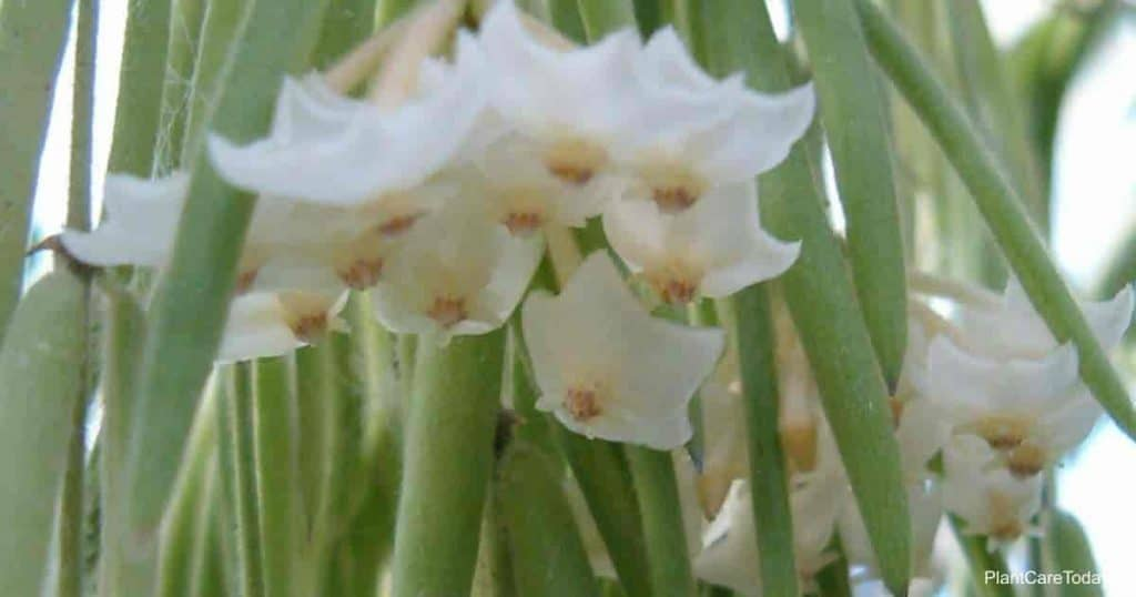 Hoya linearis Inflorescence
