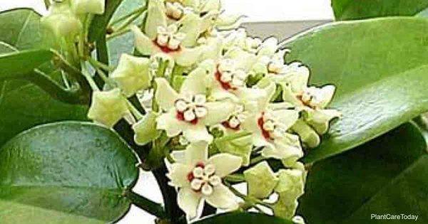 Australis Hoya in Bloom