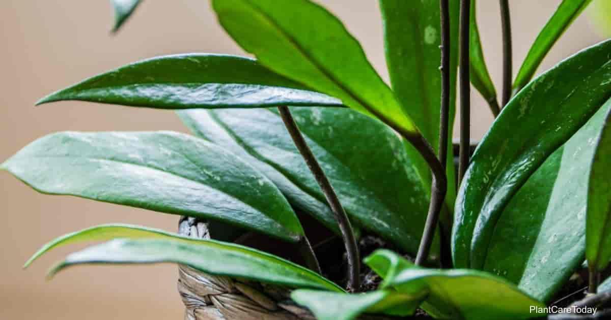 The climbing Hoya pubicalyx vine
