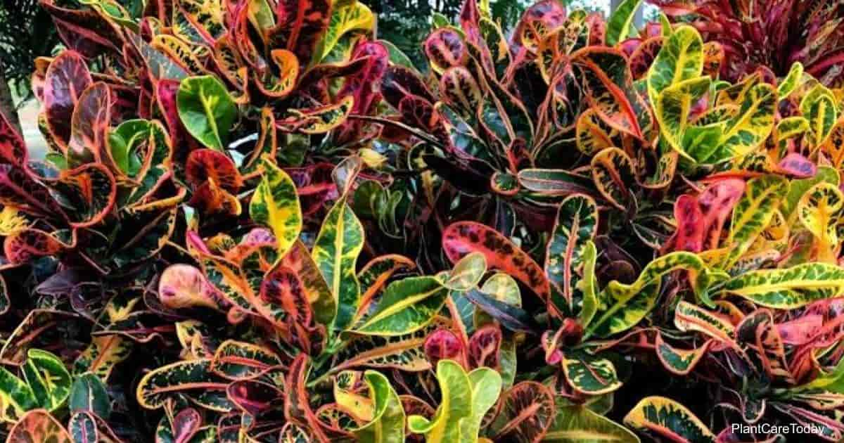 Croton deal with pests like mealybugs, red spider mites, scales, thrips