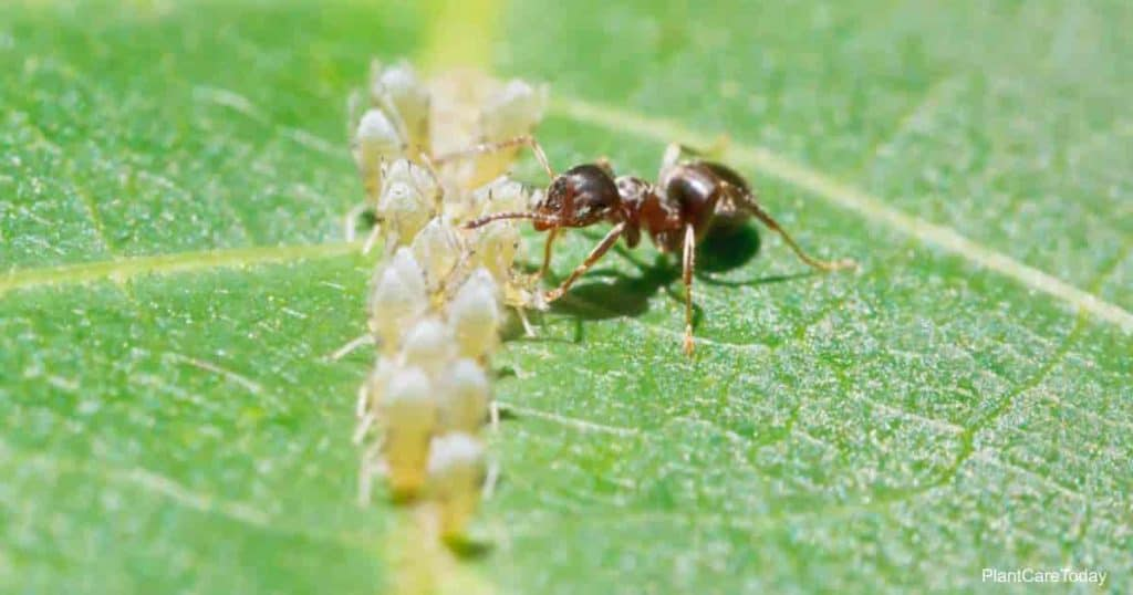 Ant collects honeydew from aphids grouped on leaf