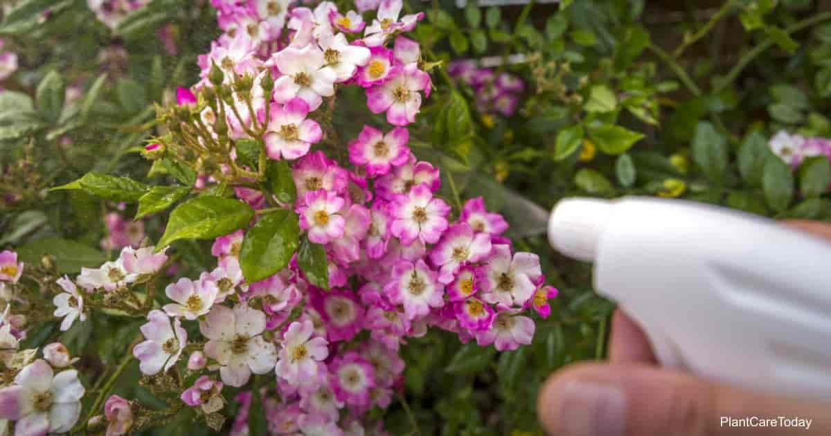 Spraying plant and flowers infected by many green aphids. No pesticide, made with water, neem oil