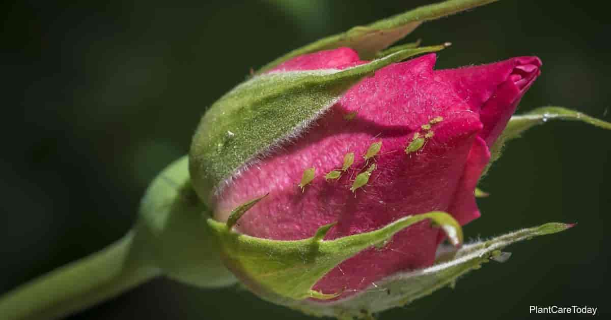 Aphids feeding on a beautiful rose bud