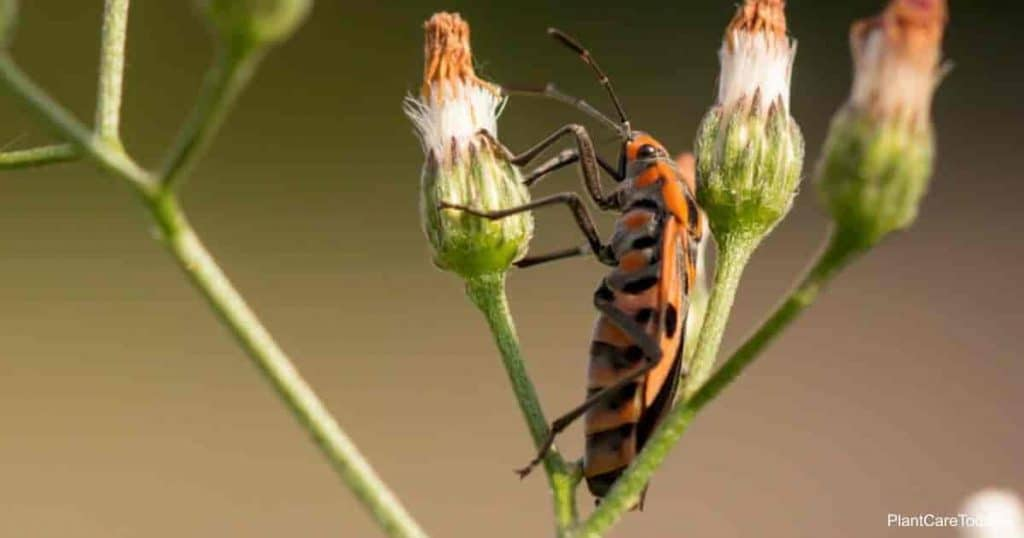 Assassin bugs love to eat aphids