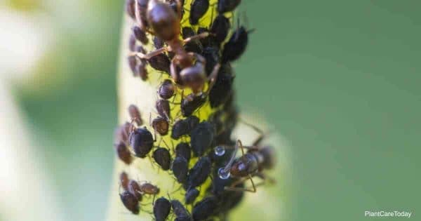 Colony of Aphids with ants farming for honeydew