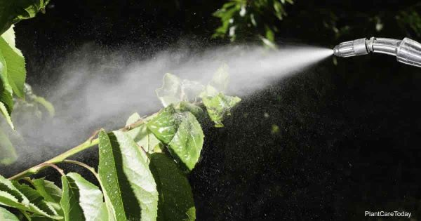 Spraying Aphids early in the morning
