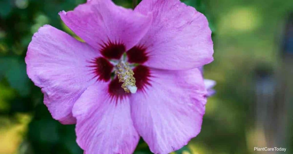Hibiscus of plants in mallow family, Malvaceae