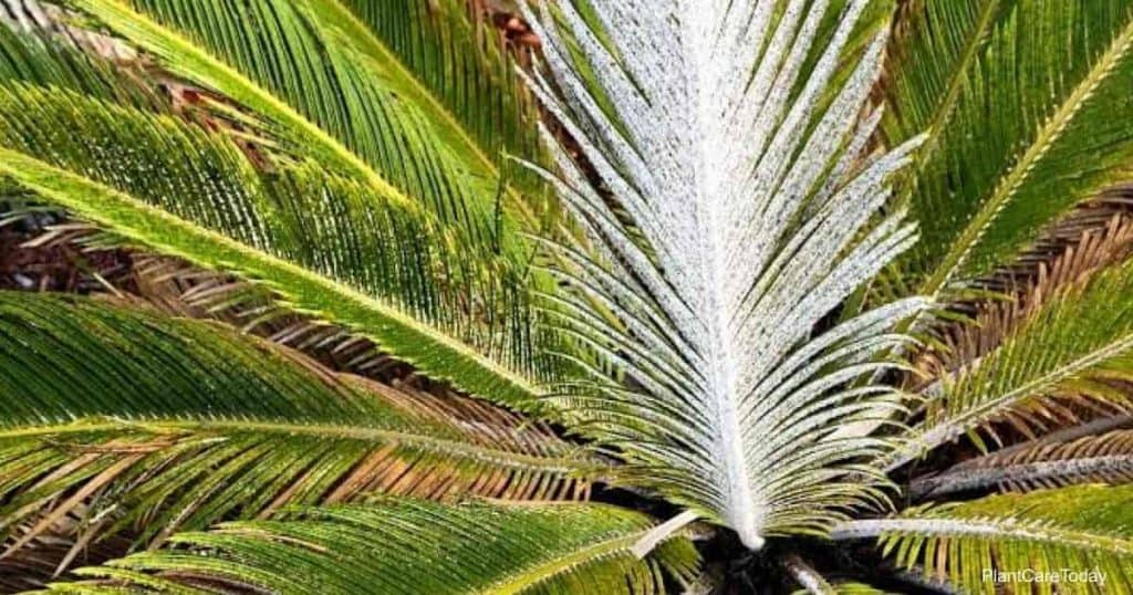 Asian scale covering the leaves of sago palms