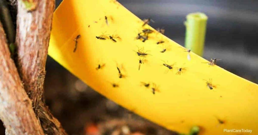 Cerca de hongos mosquitos pegados en cinta adhesiva amarilla