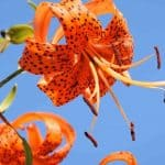 When Should You Cut Back Tiger Lilies?