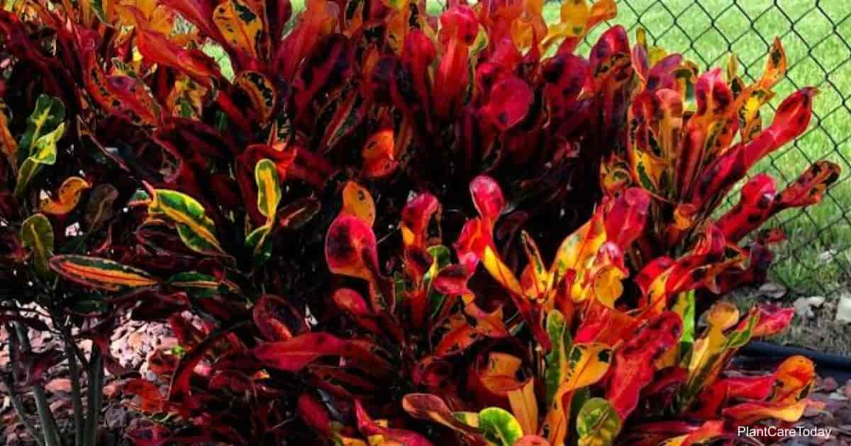 Colorful leaves of Croton Mammy