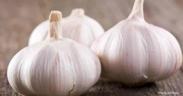 A homemade garlic spray for aphids starts with several cloves