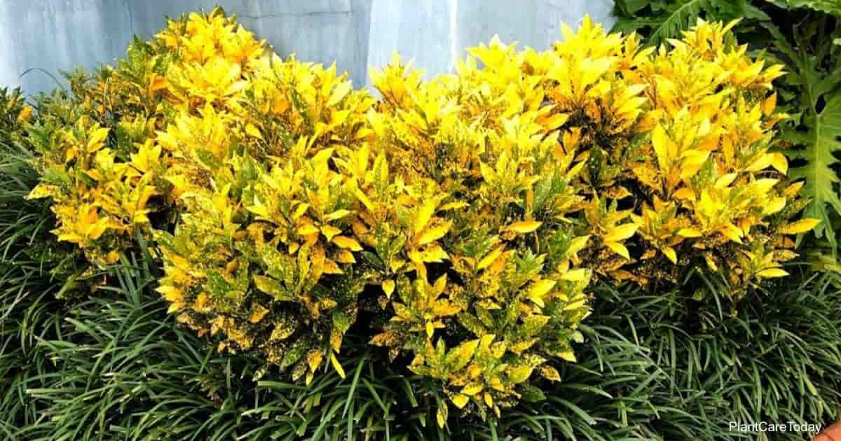 colorful croton plants growing outdoors