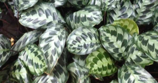 Calathea plant growing as a ground cover