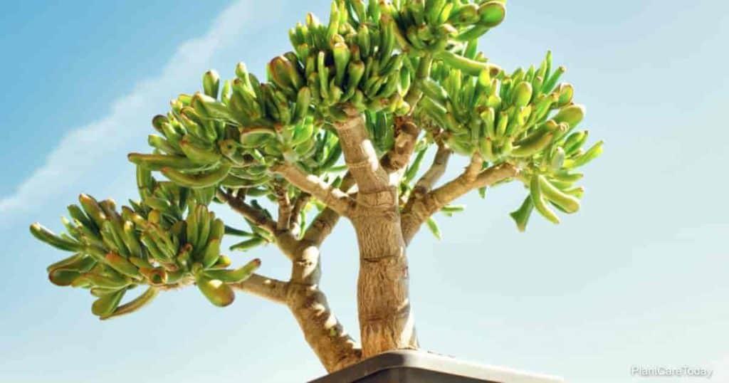 Bonsai style of a Crassula ovata gollum succulent plant in a plastic pot. Bright blue sky background.